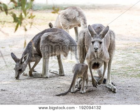 Kangaroos  Stand On A Sunny Day On The Ground And Are Looking For Food