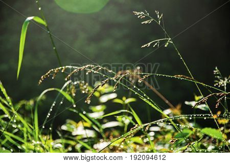 Close-up of grass in the morning sunshine in a park at Saint-Gervais-Les-Bains, a famous ski resort located in Haute-Savoie Province, near the Mont Blanc in the French Alps