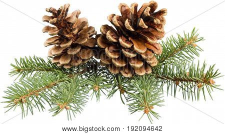 Branch pine two cones green white background