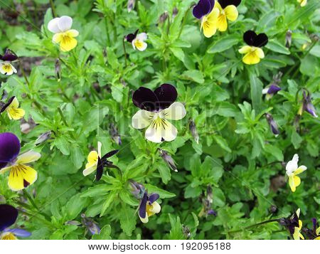 Heartsease with flowers, Viola tricolor, in garden