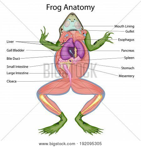 Education Chart of Biology for Dissected body of Frog Diagram. Vector illustration. Vector illustration