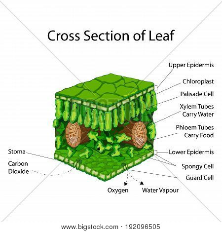 Education Chart of Biology for Cross Section of Leaf Diagram. Vector illustration