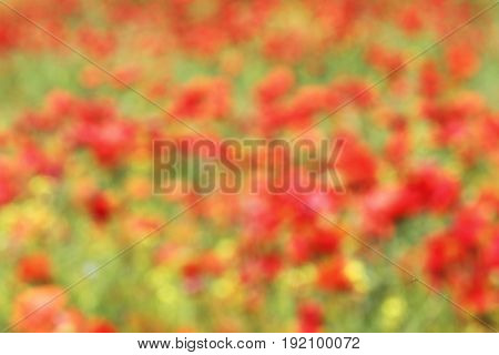 abstract out of focus view of red poppies field colorful beautiful background for your design ( Papaver rhoeas )