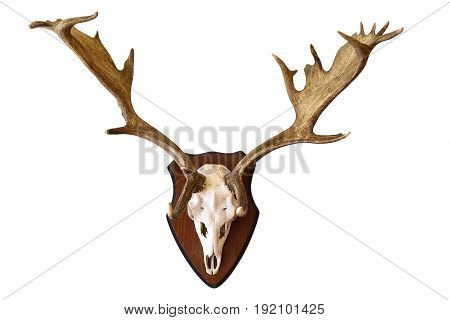 fallow deer stag isolated hunting trophy large male Dama on white background beautiful antlers