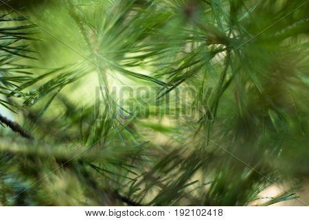 light green pine tree detail in sunlight