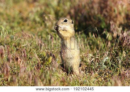 european ground squirrel on meadow image taken while eating ( Spermophilus citellus )