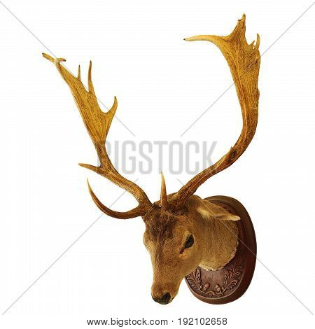fallow deer buck hunting trophy isolated over white background ( Dama )
