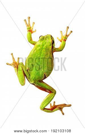 colorful tree frog isolated over white background ( Hyla arborea )