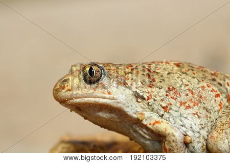 macro image of common spadefoot toad ( Pelobates fuscus )