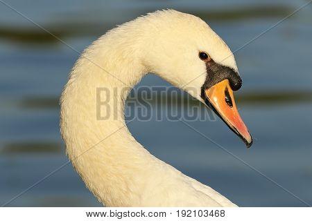 portrait of beautiful mute swan ( Cygnus olor )