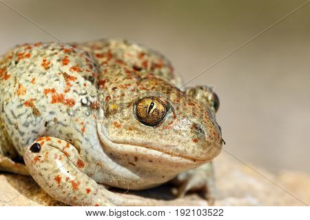 portrait of common spadefoot ( Pelobates fuscus )