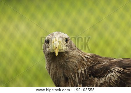 portrait of Haliaeetus beautiful bird of prey the white-tailed eagle