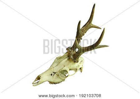 roe deer buck cranium isolated on white background ( Capreolus male hunting trophy )