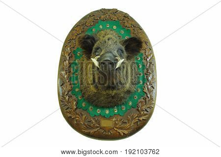 stuffed head of hunted wild boar ( Sus scrofa ) wall mount on wooden plate taxidermy