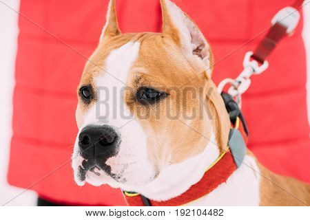 Close Portrait Of Beautiful Dog American Staffordshire Terrier