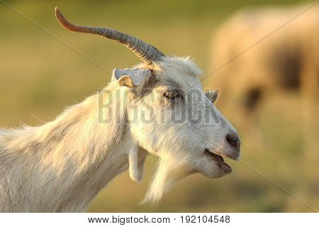 white male goat portrait over out of focus background ( Capra hircus )