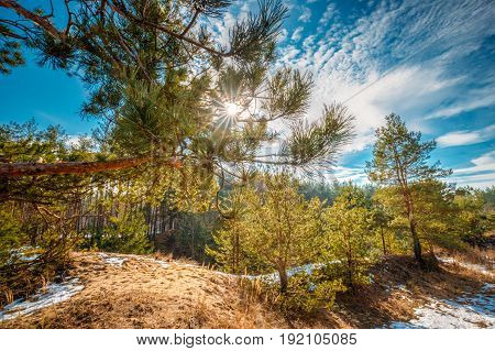 Sun Shining Through Pine Branch In Autumn Forest. Close Up Of Pine Tree Needles On Blue Sunset Or Sunrise Sky Background. Early Spring Coniferous Woods Landscape. Nature Of Belarus Or Russia