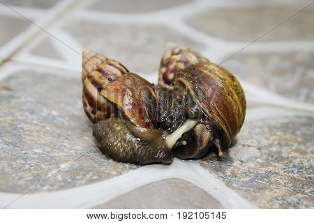 closeup of Mating Couple of snails on a yard