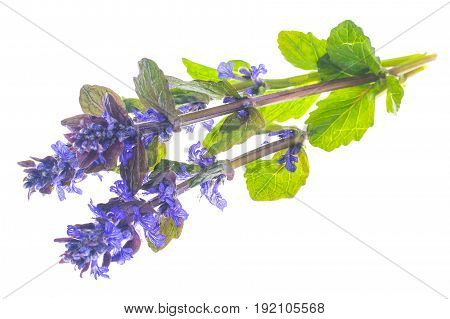 Garden cover with blue inflorescences Isolated on white background. Studio Photo