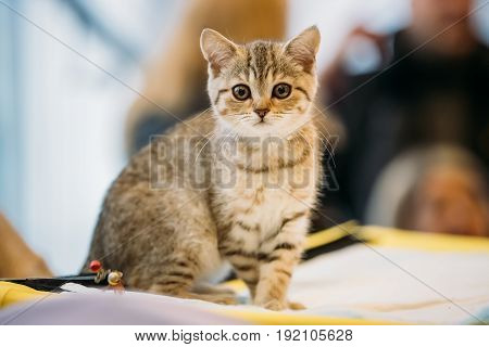 Small Cute Gray Scottish Cat Kitten With Straight Ears At Blurred Indoor Background