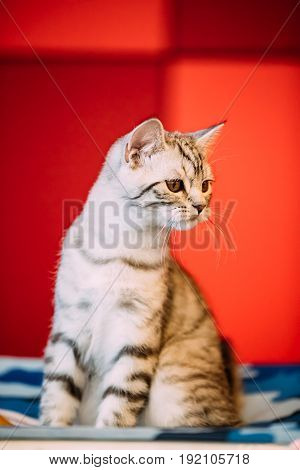 Small Cute Gray Scottish Cat Kitten With Straight Ears At Blurred Red Background