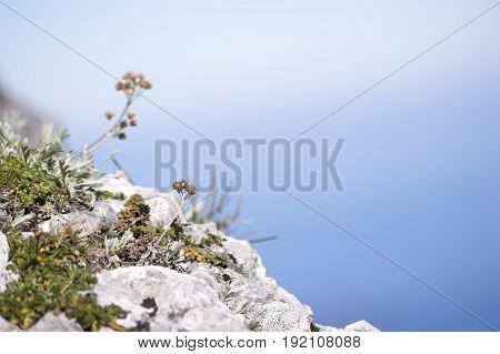 mountain flowers on the sunny rocks of Austria