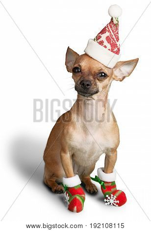 Santa hat dog chihuahua santa hat one animal looking at camera