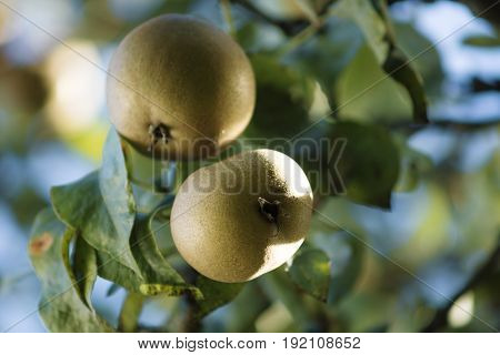 Pears, branches and leaves in a low angle view on the tree lightened with sunlight