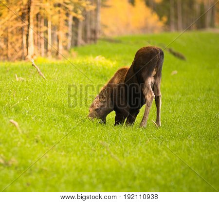 A young moose calf takes to her knees while grazing