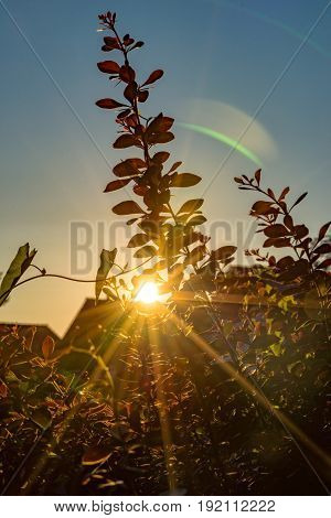The sun shines at the sundown by a hedge