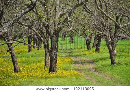 A dirt path winds through a field of trees and yellow Spring flowers.