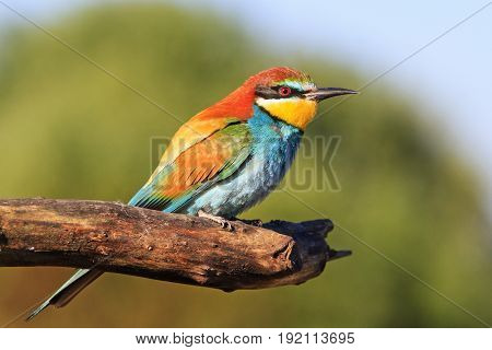 Colored bird on a dry pine branch, Bee-eater