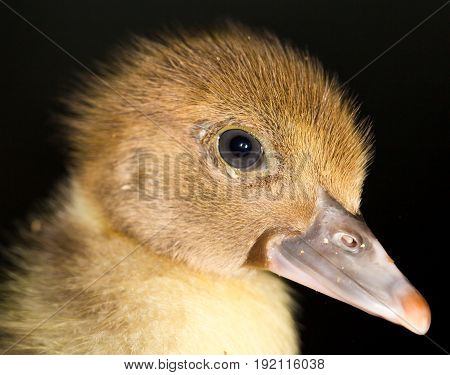 Portrait of a small duckling .