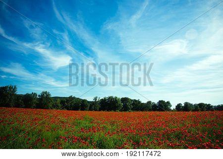 Landscape Of Flower Field With Red Poppy On Blue Sky