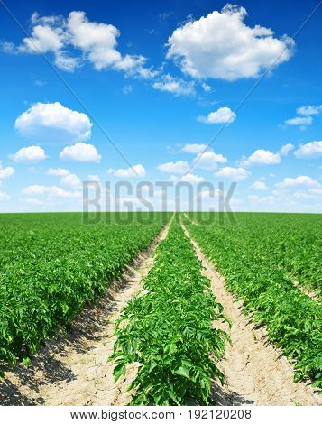 Green field of potato crops in a row and blue sky with clouds.