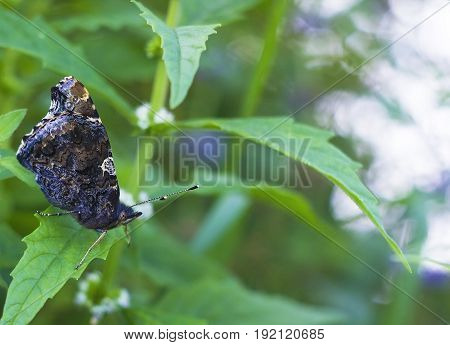Butterfly Red Admiral is sitting on green leaf. Vanessa atalanta butterfly, side view