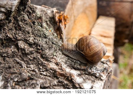 Burgundy Snail (helix, Roman Snail, Edible Snail, Escargot) Crawling On The Trunk Of Old Aspen Tree.