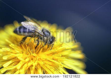 A bee in pollen on a dandelion flower. Macro