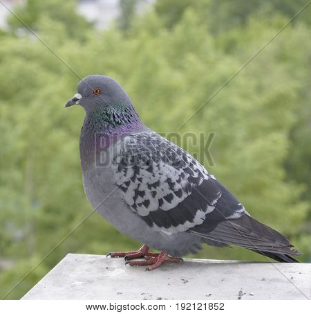 Feral pigeon (city pigeon) on blurred background.