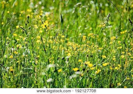 Midsummer Countryside Meadow With Flowers