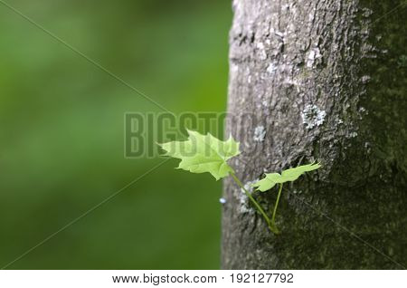 Small sprout on maple trunk close up shot