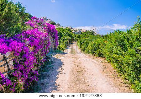 Road to lighthouse with bright lilac flowers side, Porto Rafael, Palau, Sardinia, Italy.