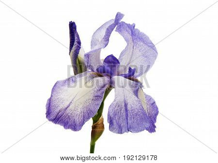 iris Summer Flores isolated on white background