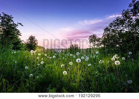 A field of dandelions at sunset. Landscape.