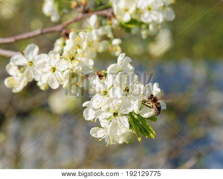 Bee On A Flowering Tree Branch In Spring