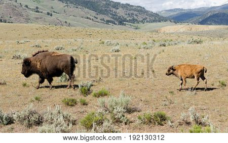 Bull Buffalo leads young calf to an area for rest in Lamar Valley
