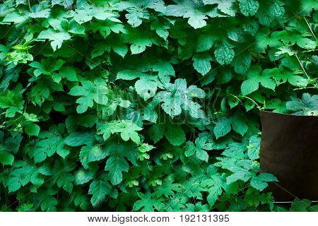 Tiny green leaves background. Green leaves wall texture background