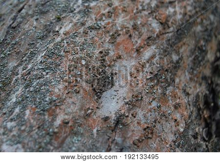 Texture of the bark of the old apple tree