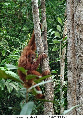 Orangutan or pongo pygmaeus in the wild. Small orangutan hang on the tree. Animals in wild, wildlife