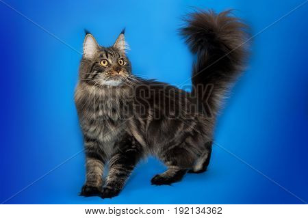 Brown tabby Maine Coon on blue background